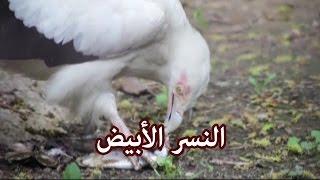 حيوانات - النسر الأبيض