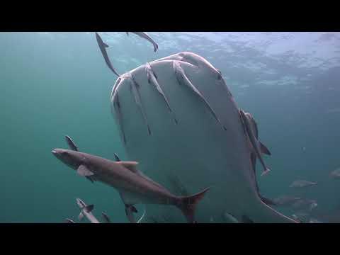 Whale Shark And Box Jellyfish 19 November 2018  Sail Rock Underwater Video
