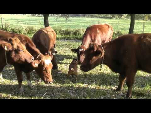 Staffordshire bull terrier vs cows