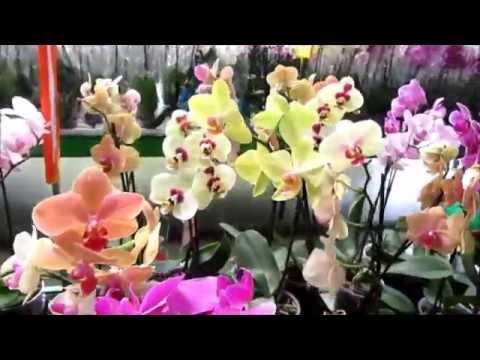 Размножение орхидеи Фаленопсис в домашних условиях с