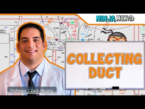 Renal | The Collecting Duct