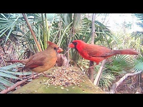 Northern Cardinals Up Close