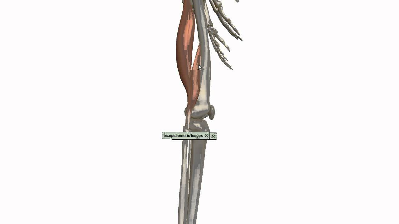 Muscles Of The Thigh Part 3