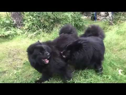 Two Swedish Lapphunds in a wild dance fight