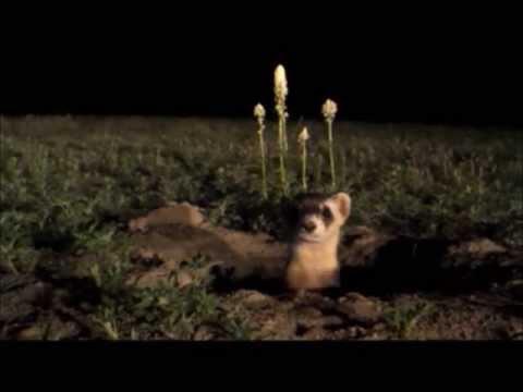 Black-Footed Ferret PSA