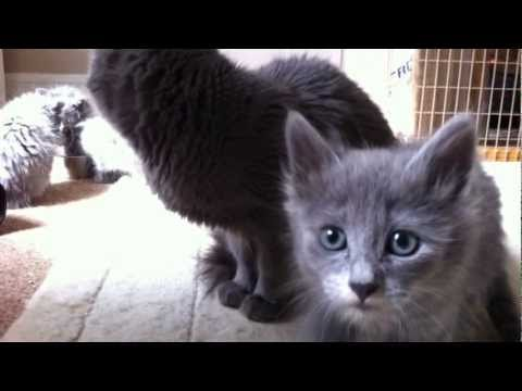 UK Nebelung cats and their kittens