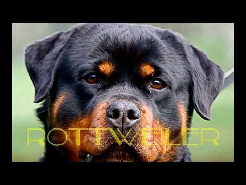 Rottweiler Vs Pitbull Una Pelea épica Mascota O Asesino Youtube