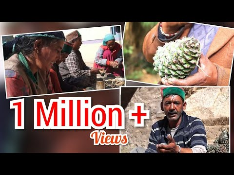 || Chilgoza (neoza):A organic dry fruit of Kinnaur|| Himachal Pradesh part 1