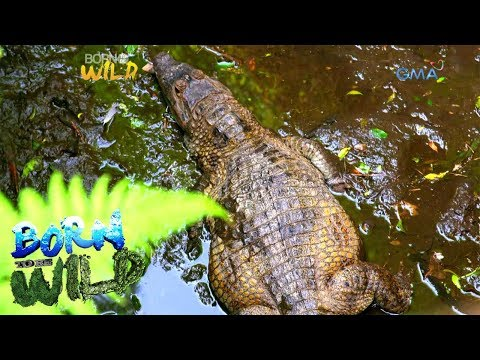 Born to Be Wild: Where did these crocodiles come from?