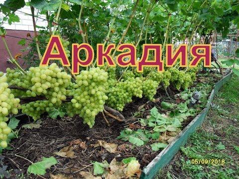 Виноград Беларуси . Лидчина . Сорт винограда -Аркадия ( Настя )