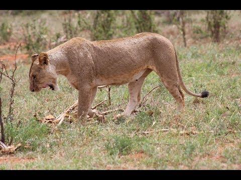 Safari im Tsavo Ost Nationalpark - Kenia