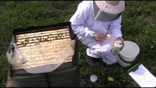 Varroa check with Marla Spivak powder sugar method.avi