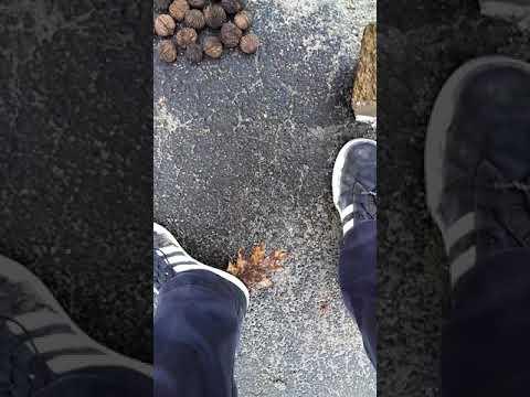 Migratory songbirds are happy Easter American black walnuts