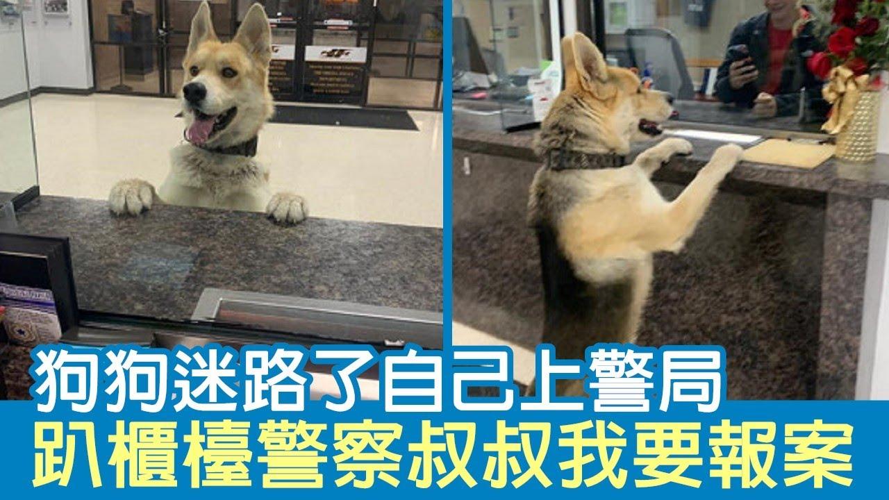 狗狗迷路了自己上警局 趴櫃檯警察叔叔我要報案