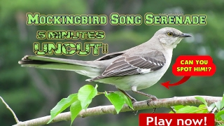 State Bird of Florida - Endangered Species - Mockingbird Song Serenade - 5 Full Minutes Uncut!