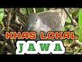Suara Burung Perkutut Lokal Khas Jawa Yang Sedang Menarik Perkutut Lain Supaya Birahi  Mp3 - Mp4 Download