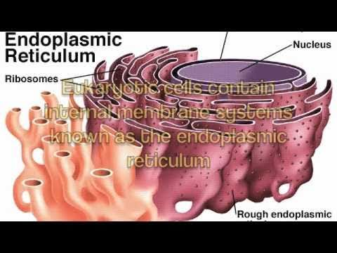 Rough Endoplasmic Reticulum Song - YouTube What Is Endoplasmic Reticulum