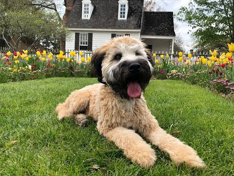 "Soft Coated Wheaten Terrier ""Sabre' l Phenomenal Transformation l Dog Trainers Hampton Roads"