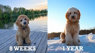 Tarzan the labradoodle growing up