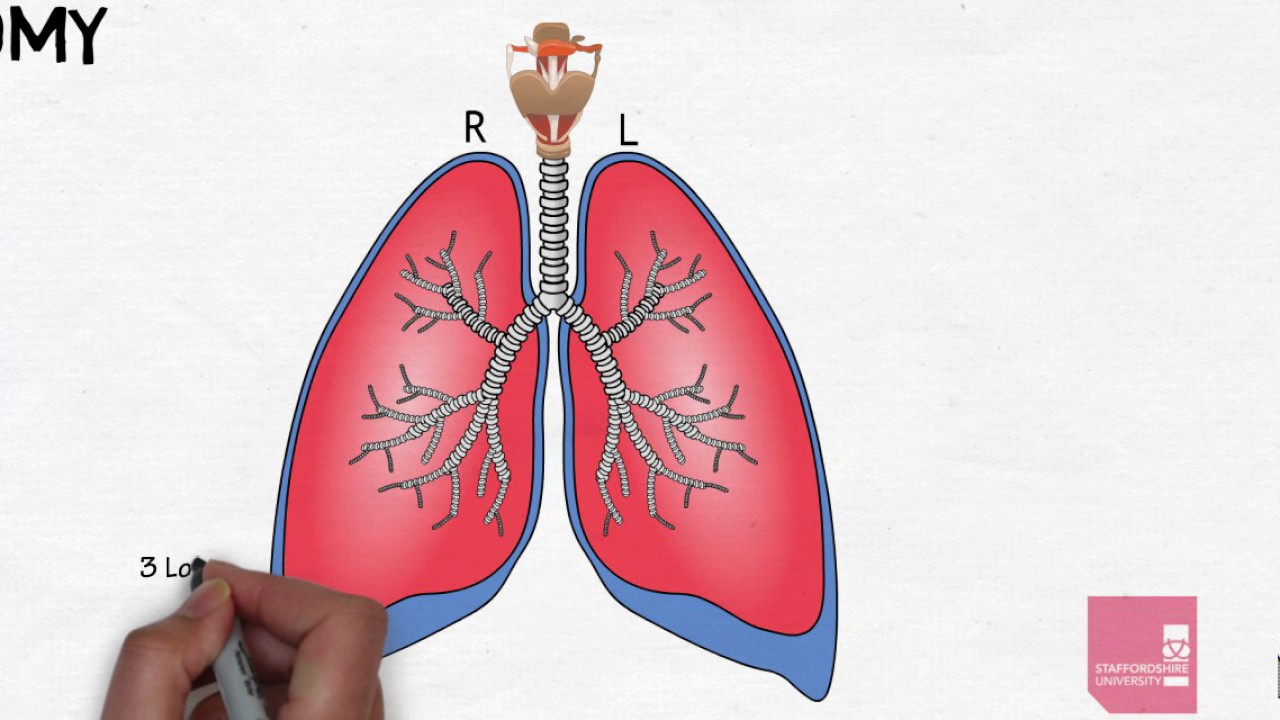 Respiratory System Basic Anatomy Youtube