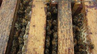 Бакфаст  Через 6 дней после перевозки пчел на рапс  Buckfast  After 6 days of shipment of bees(В данном видео мы осмотрим состояние двух семей с матками бакфаст B-144 и B-208 на принос нектара с озимого рапса..., 2015-06-02T12:15:00.000Z)