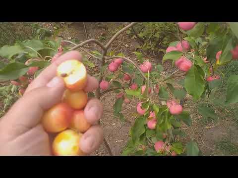 Яблоня райская  летний сорт Райка Вирджиния Креб. Особенности сорта.