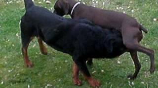 Ksena V.s Rottweiler Fight