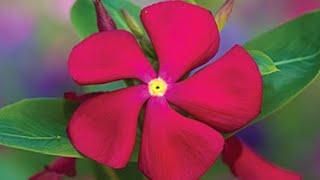 Como Plantar Sementes E Mudas De Flor Vinca Em Casa