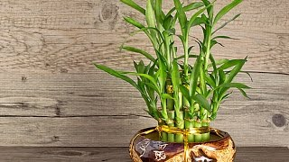 How to Take Care of Lucky Bamboo