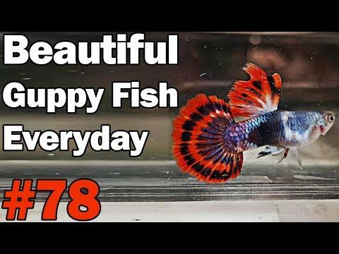 guppy-channel---beautiful-guppy-fish-everyday-#78