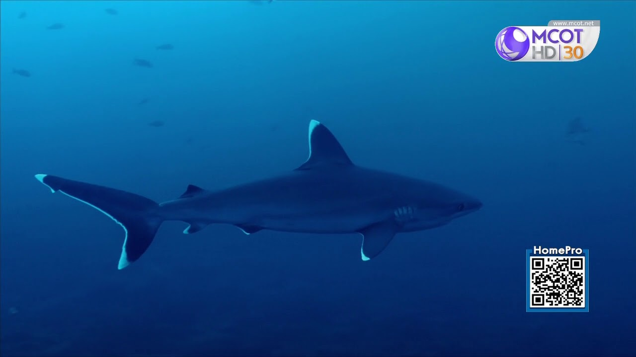 สารคดี ชีวิตลับใต้ทะเล ตอน ฉลามยอดนักล่าแห่งท้องทะเล