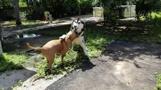 Giant Malamute VS PitBull thumbnail