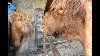HOW TO WEAN HIGHLAND CALVES OFF THE FRIENDLY WAY Video