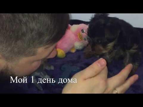 Йорик Жорик 1,5 месяца  первая неделя дома!)йоркширский терьер щенок))