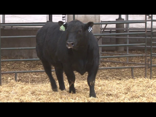 Schiefelbein Angus Farms Lot 164