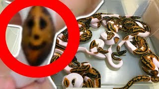 UNBOXING AMAZING SNAKES AND HATCHING AWESOME BALL PYTHONS!!!   BRIAN BARCZYK