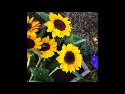 Burnside Farms  - Sunflowers