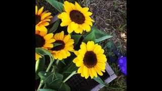 Burnside Farms  - Sunflowers