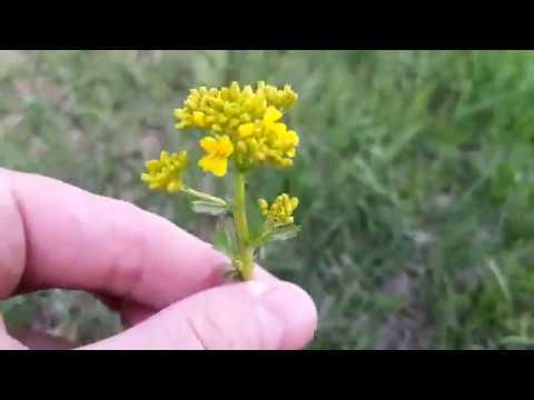 Трава Сурепка Обыкновенная. желтые цветы
