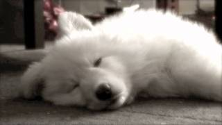 White German Shepherd Dog Sleeping - Luna Heavy Eyes 1