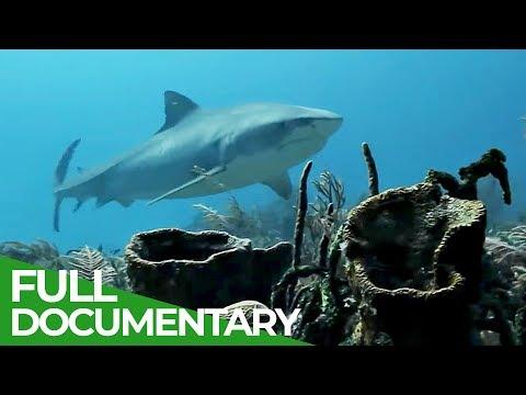 White-Tip Reef Shark:
