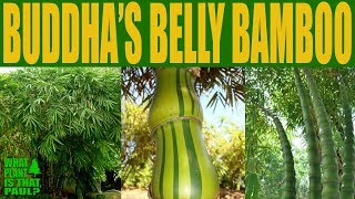 How to Grow Buddha's Belly Bamboo (Bambusa ventricosa)  in Southern California
