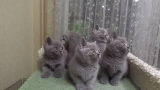 "Питомник ""Luxury Tess"" , британские котята. 89126024782"