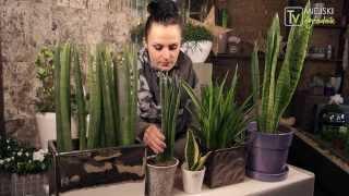 Kocham tę roślinę - Sansewierie S02 E12