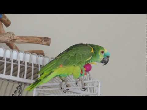 Best of Nelly Blue Fronted Amazon Parrot