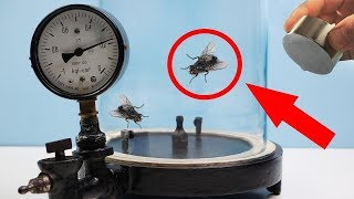 EXPERIMENT: FLY FLIES IN VACUUM!?!