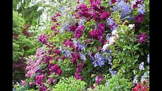Вьющиеся растения для сада, беседки и забора  Фото и названия