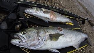 Spearfishing | Shallow PREDATORS Sea bass-Bluefish - Ψαροντούφεκο Ρηχά αρπακτικά Λαβράκια-Γοφάρια ✅