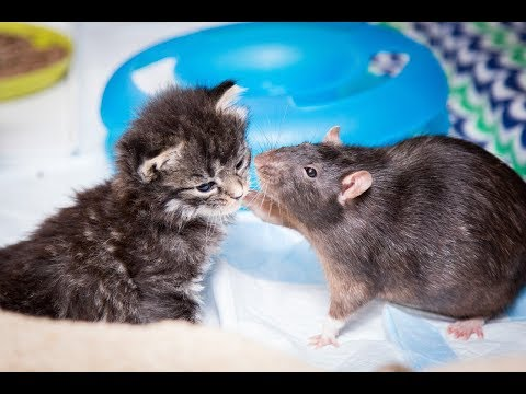 Thumbnail: Brooklyn Cat Cafe Employs Rats To Care For Kittens | CUTE AS FLUFF