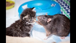 Video Brooklyn Cat Cafe Employs Rats To Care For Kittens | CUTE AS FLUFF download MP3, 3GP, MP4, WEBM, AVI, FLV Desember 2017